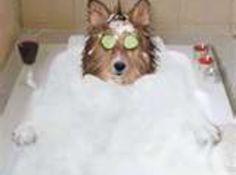 Homemade Flea Shampoo:  3 oz  glycerine   3 oz  dawn dish soap   1 1/2 oz  white vinegar   24 1/2 oz  water   4  drops lavender essential oil