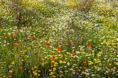 Credit: Birm/Flickr Poppies, cornflowers, corn marigold and corn chamomile in the Lost Gardens of Heligan, Cornwall. Taken by Birm