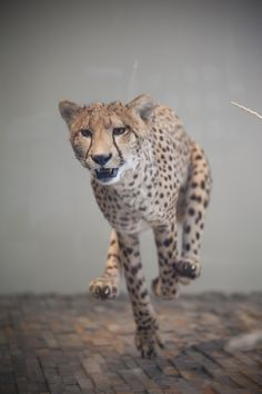 Run cheetah, run! (Age of Mammals Hall)