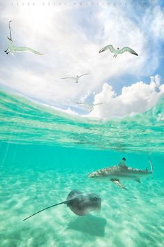 ~~Bora Bora - French Polynesia ~ sharks and stingrays underwater and seagulls above by Jesse Estes~~