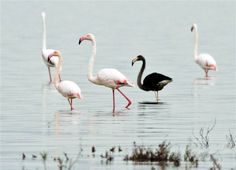 Image: Rare black flamingo spotted on Cyprus