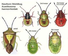 the degree of red on the nymphs can vary dramatically. Hawthorn Shieldbug, Shield Bugs, Ashley Wood, Bugs And Insects, Nature Journal, Art Journal Inspiration, Colorful Pictures, Fun Facts, Pattern Design
