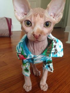 Hairless Sphynx cats sometimes need tropical Hawaiian shirts to keep warm.