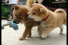 Shiba Inus!!!  I love these dogs