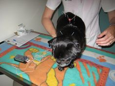 Accupuncture for pets.  I did 6 moths, twice a week for Baron...helped with his arthritis!