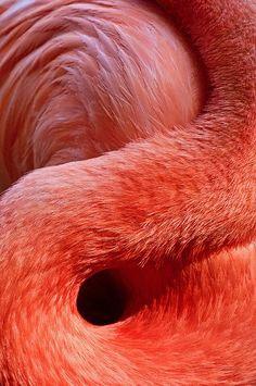 Beautiful close-up shots of a flamingo by Don Johnson. Via: Sunspotimages Amazing Animal Pictures, Amazing Animals, Beautiful Pictures, Pictures Images, Photos, Live Coral, Pink Bird, Pink Flamingos, Flamingo Color