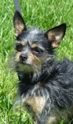 Fuzzy is an adoptable Chihuahua Dog in Lawrenceburg, IN. Little Fuzzy is a cute 7 year old munchkin looking for a great home - maybe yours?...
