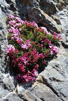 Eco Garden, Alpine Garden, Alpine Plants, Rock Flowers, Flowers Nature, Wild Flowers, Rock Garden Plants, Garden Shrubs, Unusual Flowers
