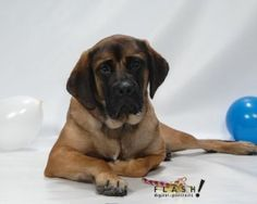 Bella is an adoptable Mastiff Dog in Grove City, OH. COURTESY POST: Name: Bella Breed: Purebred English Mastiff Age: Born December 8, 2008. She will be 4 years old this year. House Broken: Yes weight:...
