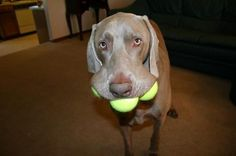 Look What I Can Do; Weimaraner - Funny Dog Pictures
