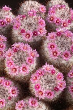 mammillaria bombycina hooked spined cactus from Mexico. Pink flowers in a ring in summer Unusual Flowers, Amazing Flowers, Love Flowers, Colorful Flowers, Purple Flowers, Cacti And Succulents, Planting Succulents, Cactus Plants, Planting Flowers