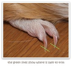 Nail Trimming-Guinea pig care information in Essex | Care Resource & Guinea Pig Forum | Rodents With Attitude