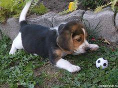 Athletic beagle puppy