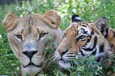"Leo and Shere Khan (no, it's not ""Photoshopped"" - it's real!) #BLT #Leo #Lion #ShereKhan #Tiger #NoahsArk www.noahs-ark.org"