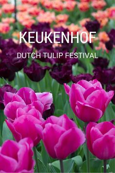 Amsterdam's tulip festival is one of the largest flower displays in the world. It's a fantastic event held the Netherlands each year. The dates for 2016 ...