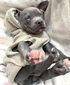 get Labrador stikers Pitbulls Puppies, Cute Pitbulls, Cute Dogs And Puppies, Baby Dogs, Doggies, Dogs Pitbull, Amstaff Terrier, Pitbull Terrier, Bull Terriers