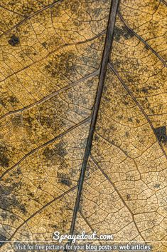 Winter picture of a dead leaf on the ground. A yellow/brown leaf and its veins. Visit to download free picture to use on your blog or web article. Fall Leaves Pictures, Winter Pictures, Free Pictures To Use, Free Images, Yellow And Brown, Autumn Leaves, Close Up, Blog, Photography