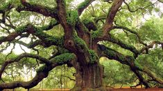 Why Ancient Trees? - Archangel Ancient Tree Archive