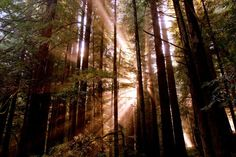 Sun rays through the redwood trees in Avenue of the Giants