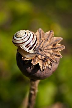 Sluggish - snail on an opium poppy??