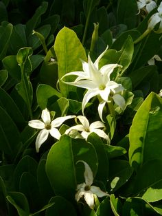Jaborosa integrifolia