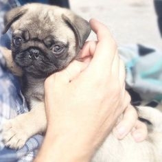 A pug a day keeps doctor away!✌️  #pugdaily #pugs #pug #cute #puglover
