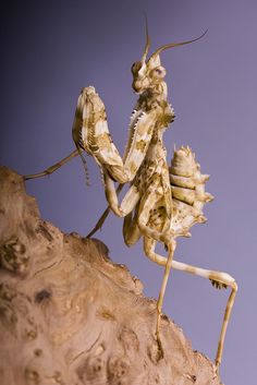 The devil's flower mantis (Blepharopsis mendica) is a gorgeous predatory insect from North Africa that relies on stealth and camouflage to capture its prey