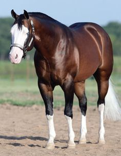 Spooks Gotta Gun - Lovely markings. Mahogany bey with minimal overo. The white face and lovely tail. Not a Quarter Horse fan, but a beautiful stallion.