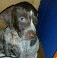 Blue is an adoptable German Shorthaired Pointer Dog in Rockville, MD. Currently accepting applications http://healthycompanions.org/Canine-Adoption-Application.php. For questions and inquiries please ...
