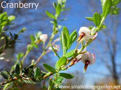 Cranberry blossoms