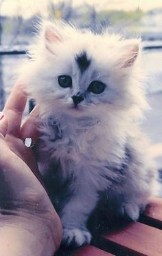 This Persian kitten is just too cute…..WANT!