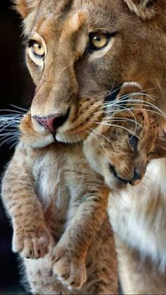 Cute Lion Cub being share moments