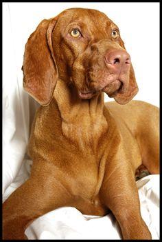 Magyar vizsla dog