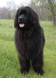 Newfoundland. One day will be part of our family! :)
