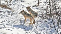 The last two wolves on Isle Royale made it through the winter but aren't expected to last much longer. The 7-year-old female and 9-year-old male are believed too old to reproduce. National Park Service officials are moving to bring more wolves to the island, perhaps later this year. (Courtesy of Michigan Technological University)