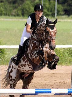 Phaustino Knabstrupper Knabstrup Stallion at Stud Spotted Sport Horse KNN