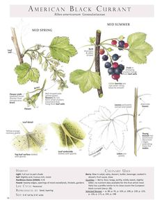 American Black Currant (Ribes americunum) Foraging & Feasting: A Field Guide and Wild Food Cookbook by Dina Falconi; illustrated by Wendy Hollender.