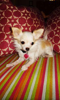 """Minnie, my """"teacup"""" Chihuahua #PureJoy"""