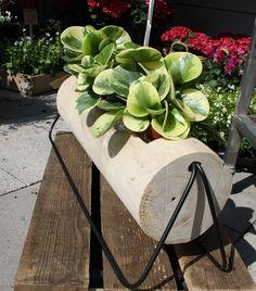 Encheveria im Holzgefäß, Baumstamm als Pflanzgefäß, Foto Birgit Puck