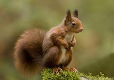 Fotograaf: digi-irma    Deze heb ik op mijn vakantie vast kunnen leggen. Ik ben er heerlijk even een tijdje tussenuit geweest en ik heb zo genoten. Meer foto's van het eekhoortje hier te zien, http://www.digi-irma.nl/fotoalbum/dieren/eekhoorn.html Groetjes Irma        Categorie:Zoogdieren (vos, muis, etc)      Tags:Eekhoorn, squirrel, bossen Nunspeet        Nederlandse naam: eekhoorn      Wetensch. naam: niet opgegeven