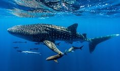 A whale shark in Ningaloo Marine Park, Western Australia – one of around 70 species of shark that are under threat.