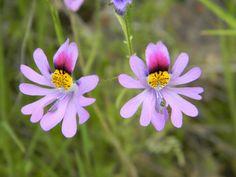 Flor del Pajarito (Schizanthus litoralis)