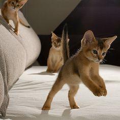 I want a singapura Kittens And Puppies, Baby Kittens, Cute Cats And Kittens, Kittens Cutest, Somali, Pretty Cats, Beautiful Cats, Pretty Kitty, Abyssinian Kittens