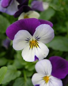 Pansy Viola tricolor Flower