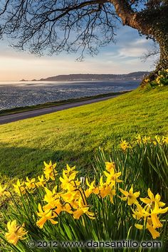 """Mumbles from Black Pill by Dan Santillo. """"I used my tilt-shift lens to get close to the daffodils and frame the top with the tree branch whilst keeping everything sharp in the photo - something that would have been impossible with """"normal"""" lenses. Wales Uk, South Wales, Swansea Bay, Swansea Wales, Beautiful World, Beautiful Places, Gower Peninsula, Daffodils, Beautiful Landscapes"""