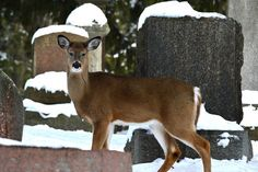 Deer by Judy  M Tomlinson Photography, via Flickr