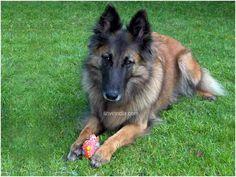 tervuren belgian shepherd dog