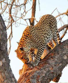 Leopard sighting in Kruger National Park