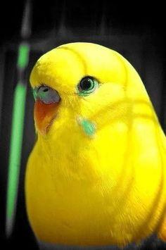 Bright Yellow Parakeet   bird Mais