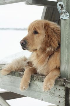sitting by the dock of the bay... #golden #retriever #dog